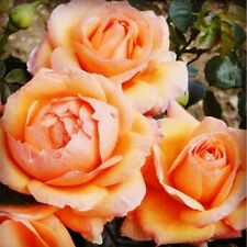 BUY 3 GET 2 FREE Floribunda Rose 200 Pcs Seeds Rose 'Lady Marmalade' Bonsai