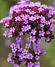 100Pcs Rare Purple Verbena Fresh Seeds Flowers Perennial Autumn Home Garden
