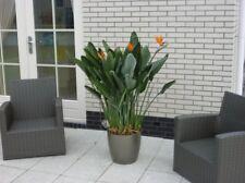 paradiesvogelblume zimmerpflanzen g nstig kaufen ebay. Black Bedroom Furniture Sets. Home Design Ideas