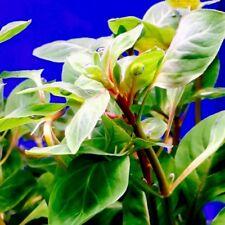 6+ Ludwigia Palustris Red - Tropical live aquarium plant - 1 Bunch Easy Grow