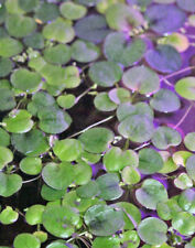 15 Amazon Frogbit Limnobium laevigatum aquarium aquatic floating plant Free Ship