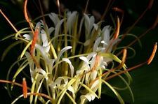 Hedychium ellipticum Rock Butterfly Lily 10 seeds