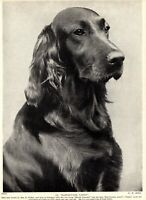 1930s Antique IRISH SETTER Dog Print Champion Hartsbourne Vanity 3267-U