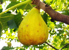 rare Fig Plant, FICUS CARICA YELLOW GIANT, honey coloured flesh, SELF FERTILE