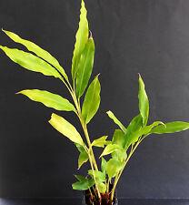 Cardamom Scented Ginger - Alpinia mutica – Rhizome/Plant