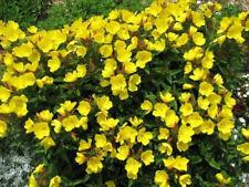 Evening Primrose Full Sun Perennial Flower Plant Seeds Ebay