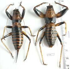 Orthoptera Tettigoniidae Oncodopus zonatus GIANT GRASSOPHER! Madagascar PAIR