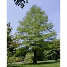 Common Bald Cypress Tree Seeds