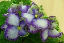 African violet: Optimara Ever Precious - young plant