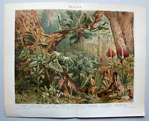 Botanik, Pflanzen, Araceen - 16 Abbildungen - Chromolithographie 1896