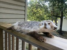 Badger Taxidermy Mount animal stuffed authentic mount
