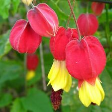 BRAZILIAN BELL FLOWER Abutilon megapotamicum, red flowers plant in 125mm pot