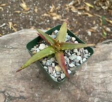 RARE A+++ Aloe Pearsonii x Aloe Cameronii BEAUTIFUL Hybrid Aloe