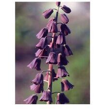 RARE 8 graines de FRITILLAIRE NOIRE DE PERSE(Fritillaria Persica)X22 SEEDS SEMI