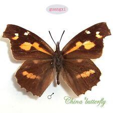 unmounted butterfly Libytheidae Libythea celtis   A1