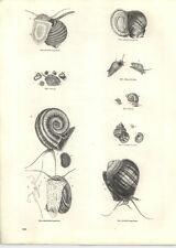 1854 Engravings Doubtful Ampullaria Ram's Horn Minute Paludina