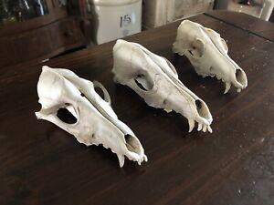 Coyote Skulls(3) Wild Animal Nature Clean Bones Craft Taxidermy
