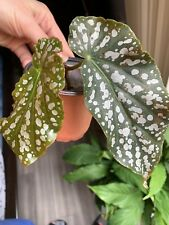 """BEGONIA ANGEL WING DOTS COMPACT TYPE 2"""" pot"""
