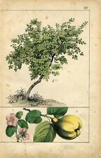 1872 FRUIT PEAR QUINCE TREE FLOWERS Antique Hand Colored Print Schreiber
