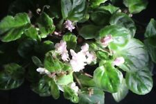 African Violet Rob's Vanilla Trail semiminiature trailer 2 leaves
