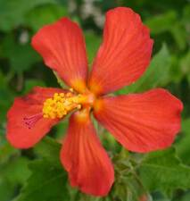 Pavonia missionum | Hibiscus | 10_Seeds FREE SHIPPING TO US