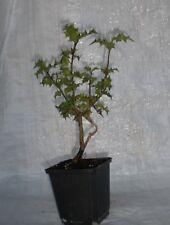 Holly, Aquifolium Ilex Container Grown Plants  in 1/2 litre  Pot