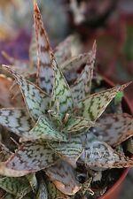 "2"" Aloe cultivar Moonglow hybrid Pink RED FLOWER SUCCULENT Cactus Plant Cacti"