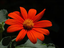 TITHONIA ROTUNDIFOLIA TORCH - THE MEXICAN SUNFLOWER  2 GRAM ~ 240 SEEDS