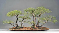 African Acacia Species - Fabulous Indoor Bonsai - Packs of 5 Seeds