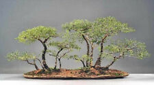 African Acacia Species - Fabulous Indoor Bonsai - Packs of 5 Seeds