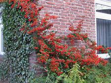 Feuerdorn Pyracantha Red Column 40-60cm Beerengehölz
