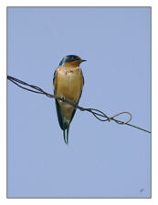 "Barn Swallow 12""x16"" Fine Art Print, Bird Art"