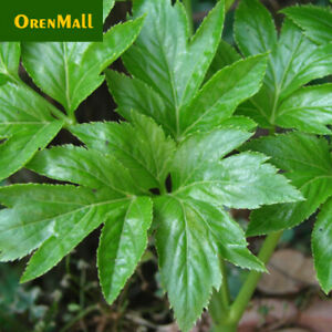 1g(about 100pcs) Angelica Seed Tomorrow's Leaf Ashitaba Angelica Keiskei 신선초