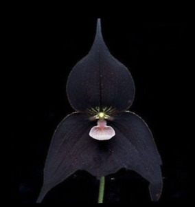 Orchid Black Monkey Face Orchid Plants Fragrant Attract The Butterfly