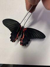 Papilio Rumanzovia Female A1 Papered Specimen Ex Philippines