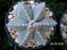 Astrophytum multicostatum 6 rare cactus seed 15 SEEDS