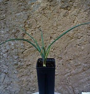 Yucca Hybride Yucca linearifolia x Y baccata winterhart