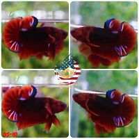 BS151 -Live Betta Fish High Quality Halfmoon Plakat HMPK Red Hellboy Stars