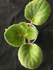 African Violet Plant- Secret Rendezvous
