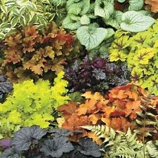 Colourful Heuchera, Mixed, Coral Bells Seeds - Lovely Colours