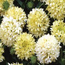 Gaillardia-Pulchella- Sundance Cream/white- 25 seeds - Bogo 50% off Sale