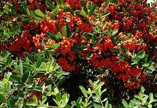 ☺30 graines de pyracantha rouge