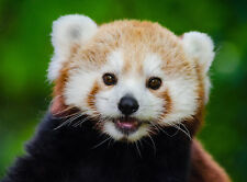 ANIMAL PHOTO RED PANDA BEAR-CAT POSTER WALL ART PRINT PICTURE  LF2883