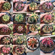 80 Seeds of Gymnocalycium variegated cactus MIX!