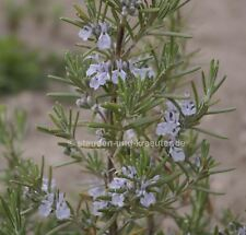 "Rosmarin, winterhart (Rosmarinus officinalis ""Arp"").  Pflanze im 10 cmTopf"