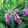 100 PCS Seeds Organic Comfrey Bonsai Plants Garden Packet Free Shipping 2019 New