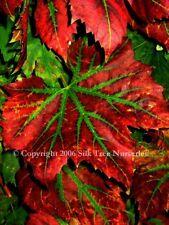 5ft ORNAMENTAL FIRE GRAPE VINE - Vitis Brandt - Stunning autumn colour! - 7litre