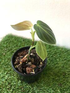 Philodendron Melanochrysum Established Rare  Aroid Indoor/houseplant