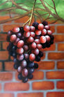 Grapevine Purple Bunch Vineyard Garden Wall Tall Oil Painting 24X36 STRETCHED