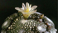 Blossfeldia mixed species - Dwarf Button Cactus - 25 Seeds